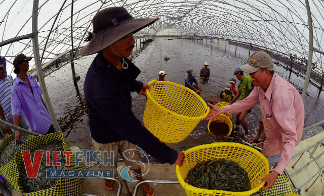 High-tech shrimp culture at Vietnam – Australia Corporation.